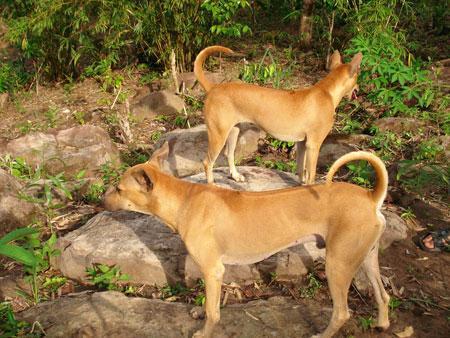 Kinh nghiệm nuôi chó phú quốc
